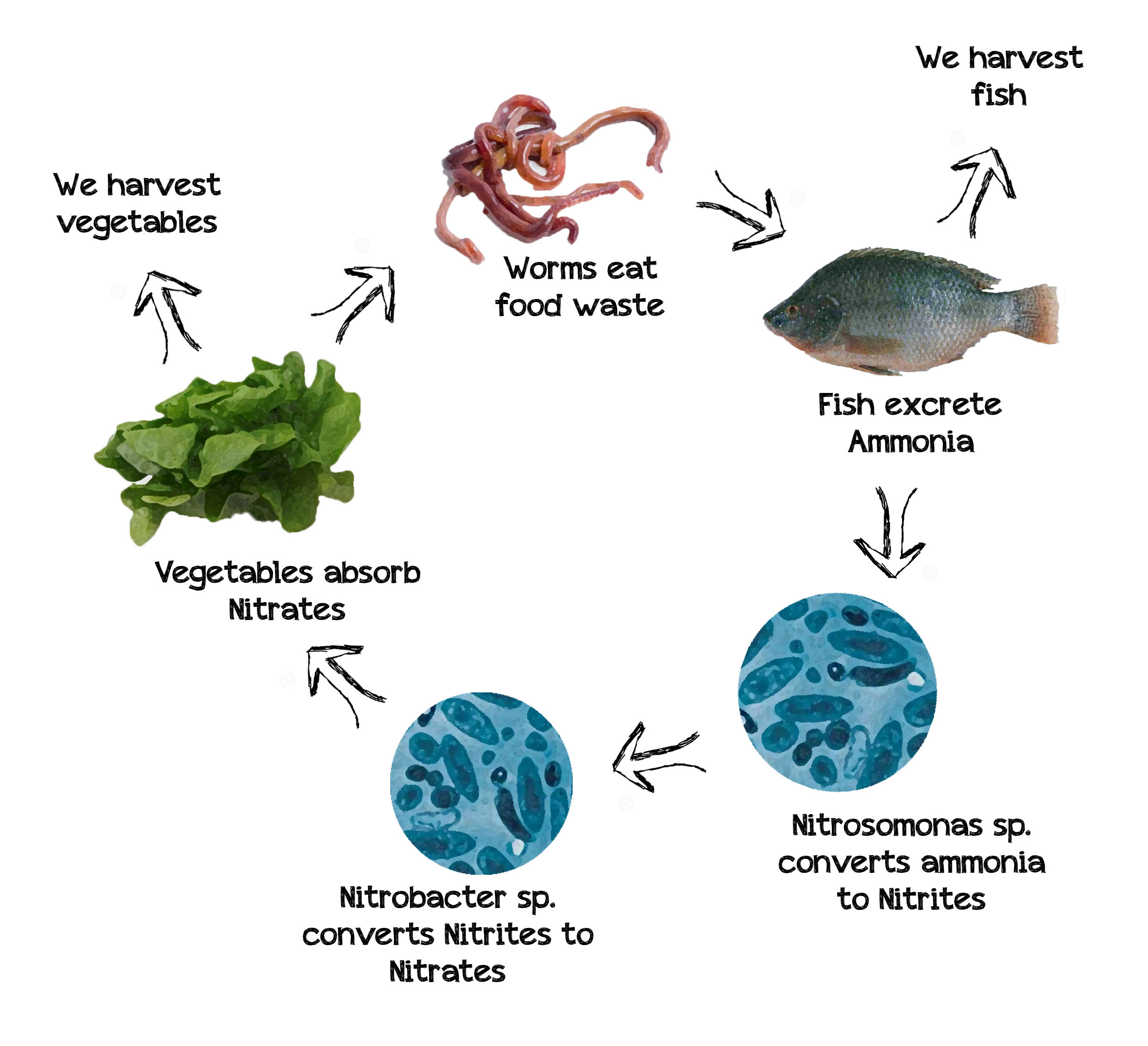 Do aquaponics systems smell for Fish for aquaponics